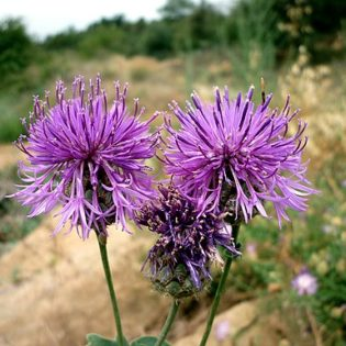 Skabiosen Flockenblume - Darstellung der Blüte