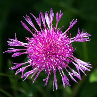 Wiesen Flockenblume - Darstellung der Blüte