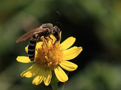 Furchenbiene auf Blüte