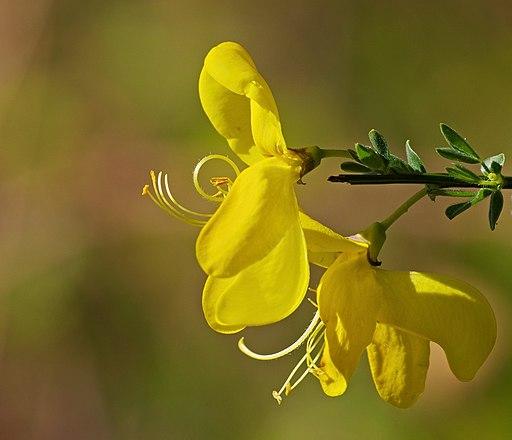 Besenginster - Darstellung der Blüte