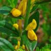 Färberginster - Darstellung der Blüte