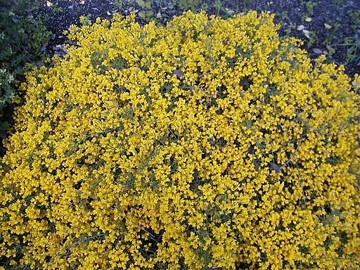 Ginster (Genista lydia) - Pflanze