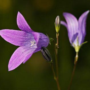 Wiesen Glockenblume - Darstellung der Blüte