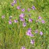 Wiesen Glockenblume - Darstellung der Pflanze