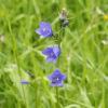 Rundblättrige Glockenblume - Darstellung der Blüte