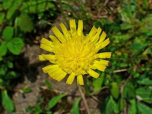 Kleines Habichtskraut - Darstellung der Blüte