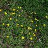 Kleines Habichtskraut - Darstellung der Pflanze
