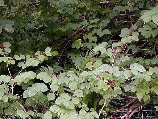 Rote Heckenkirsche - Darstellung der Pflanze