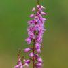 Heidekraut - Darstellung der Blüte