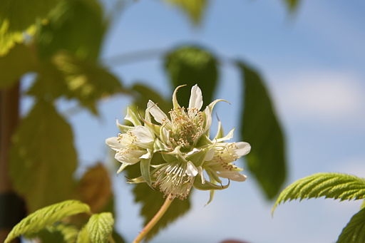 Himbeere - Darstellung der Blüte