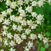 Schwarzer Holunder (Sambucus nigra) - Blüte