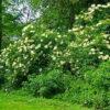 Schwarzer Holunder (Sambucus nigra) - Pflanze