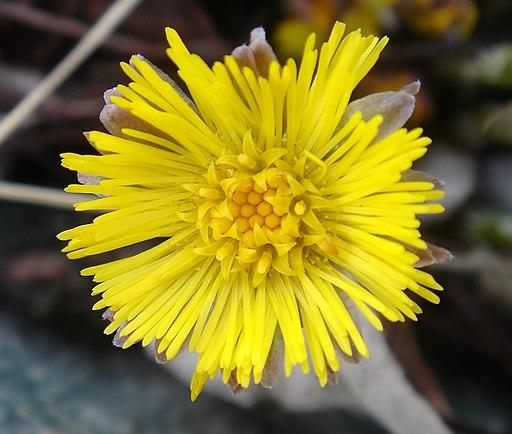 Huflattich - Bild der Blüte