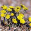 Huflattich - Bild der Pflanze