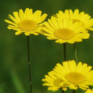 Hundskamille - Darstellung der Blüte