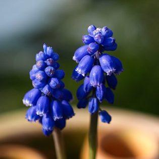 Traubenhyazinthe - Darstellung der Blüte