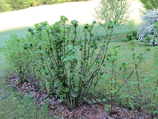 Rote Johannisbeere - Darstellung der Pflanze