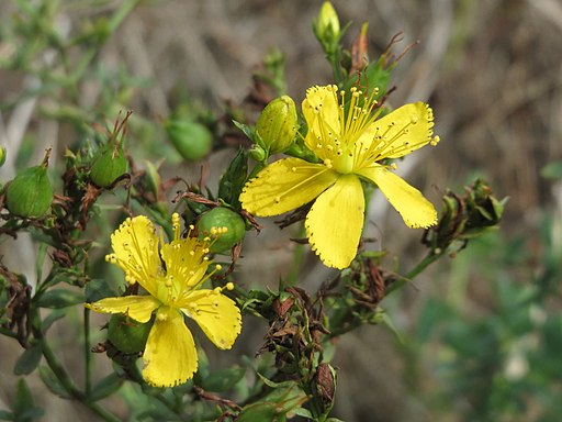 Tüpfel Hartheu - Darstellung der Blüte