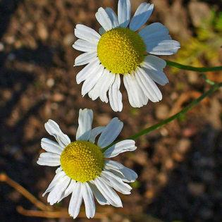 Echte Kamille - Darstellung der Blüte