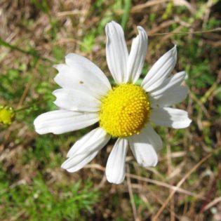 Geruchlose Kamille - Darstellung der Blüte