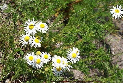 Geruchlose Kamille - Darstellung der Pflanze