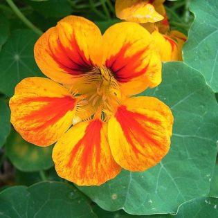 Kapuzinerkresse - Darstellung der Blüte