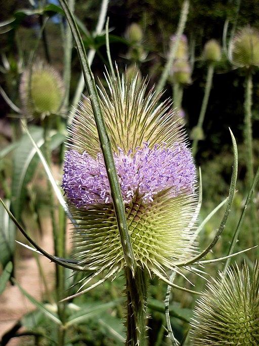 Karde - Darstellung der Blüte