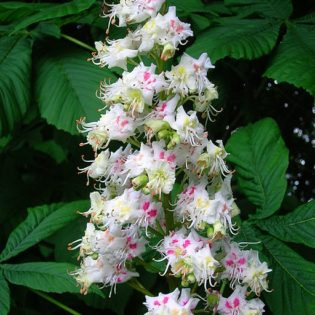 Gewöhnliche Rosskastanie - Darstellung der Blüte