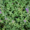 Katzenminze - Darstellung der Pflanze