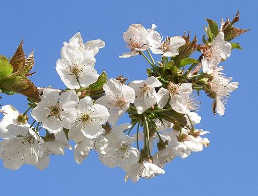 Süßkirsche - Darstellung der Blüte