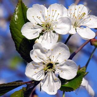 Sauerkirsche - Darstellung der Blüte