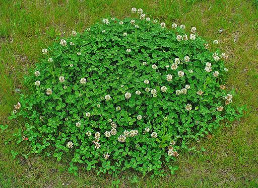 Weißklee - Darstellung der Pflanze
