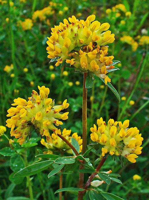 Gewöhnlicher Wundklee - Darstellung der Blüte