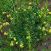 Gewöhnlicher Wundklee - Darstellung der Pflanze