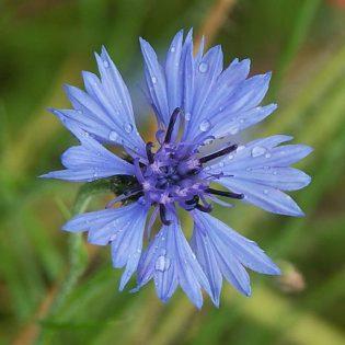 Kornblume - Darstellung der Blüte