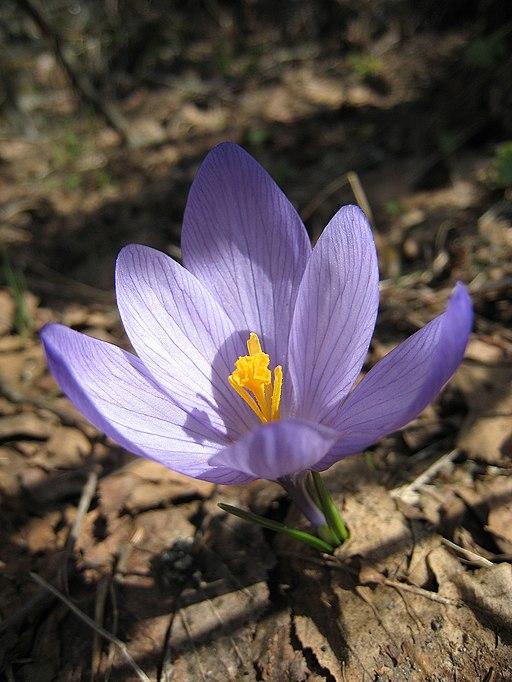 Krokus - Darstellung der Blüte