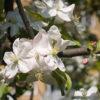 Apfelbaum - Darstellung der Blüte