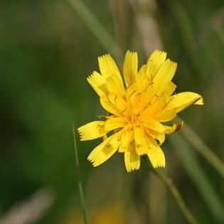Herbstlöwenzahn - Darstellung der Blüte