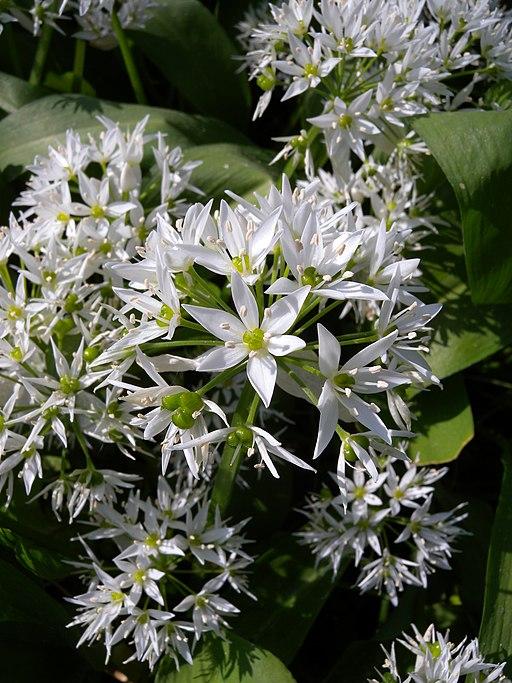 Bärlauch - Darstellung der Blüte