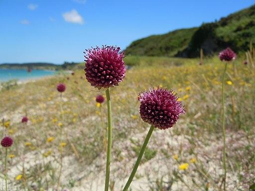 Kugellauch - Darstellung der Blüte