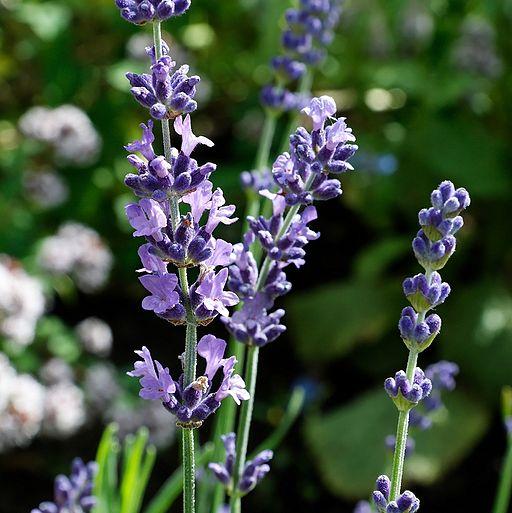 Lavendel - Darstellung der Blüte