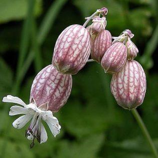 Gewöhnliches Leimkraut - Darstellung der Blüte