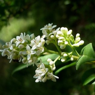 Liguster - Darstellung der Blüte