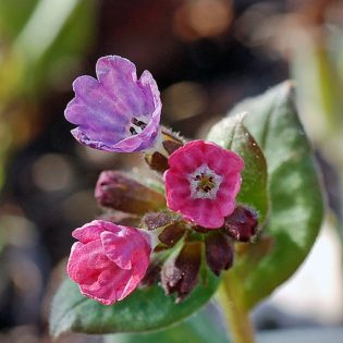 Geflecktes Lungenkraut - Darstellung der Blüte