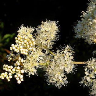 Echtes Mädesüß - Darstellung der Blüte