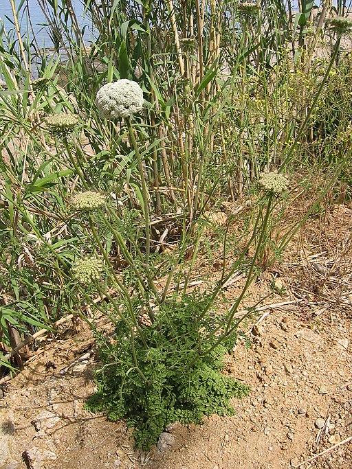 Wilde Möhre - Darstellung der Pflanze