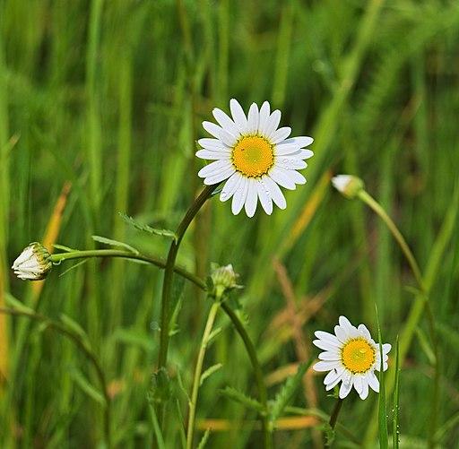 Wiesen Margerite - Darstellung der Blüte