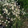 Wiesen Margerite - Darstellung der Pflanze
