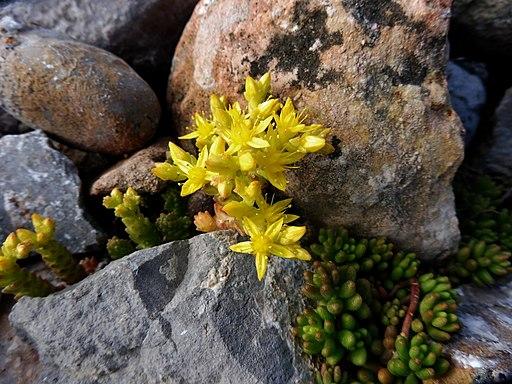 Scharfer Mauerpfeffer - Darstellung der Blüte