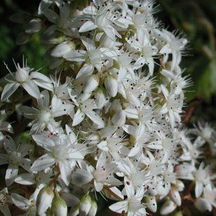 Weißer Mauerpfeffer - Darstellung der Blüte